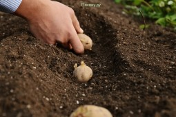 План по посадкам картофеля в Белоруссии в целом выполнен