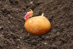 Посадка картофеля в Белоруссии перевалила экватор